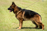 Male Working Dog 24+ w/Title Stock Coat
